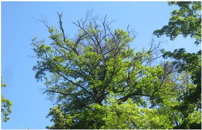 Descente de cime-signe de dépérissement accéléré de l'arbre